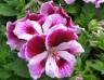 Pelargonium Mona Purper