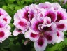 Pelargonium Regalia Lilac